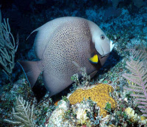 Key West Gray Angelfish
