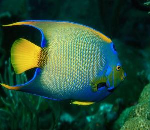Key West Queen Angelfish