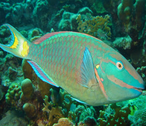 Key West Stoplight Parrotfish