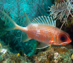 Key West Longspine Squirrelfish