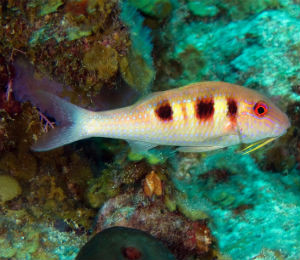 Key West Spotted Goatfish