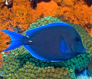 Key West Blue Tang