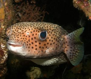 Key West Porcupinefish