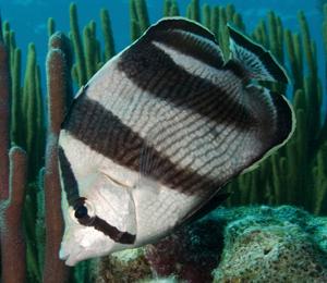 Key West Butterflyfish