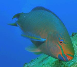 Key West Parrotfish