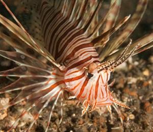 Key West Lionfish