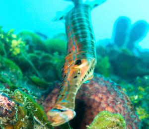 Key West Trumpetfish