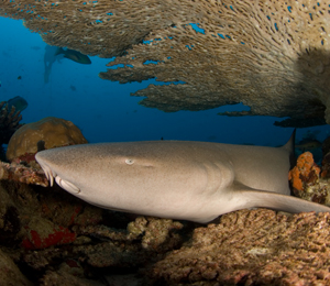 Key West Nurse Shark