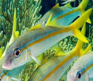 Yellow Goatfish and Yellowtail Snapper