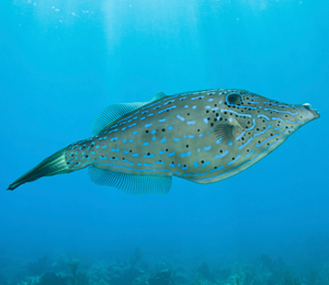 Key West White Spotted Filefish