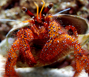 Key West Crabs