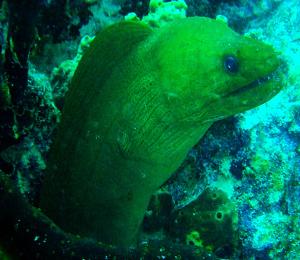 Key West Green Moray Eel