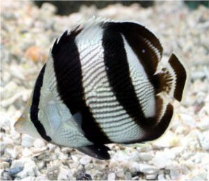Key West Banded Butterflyfish